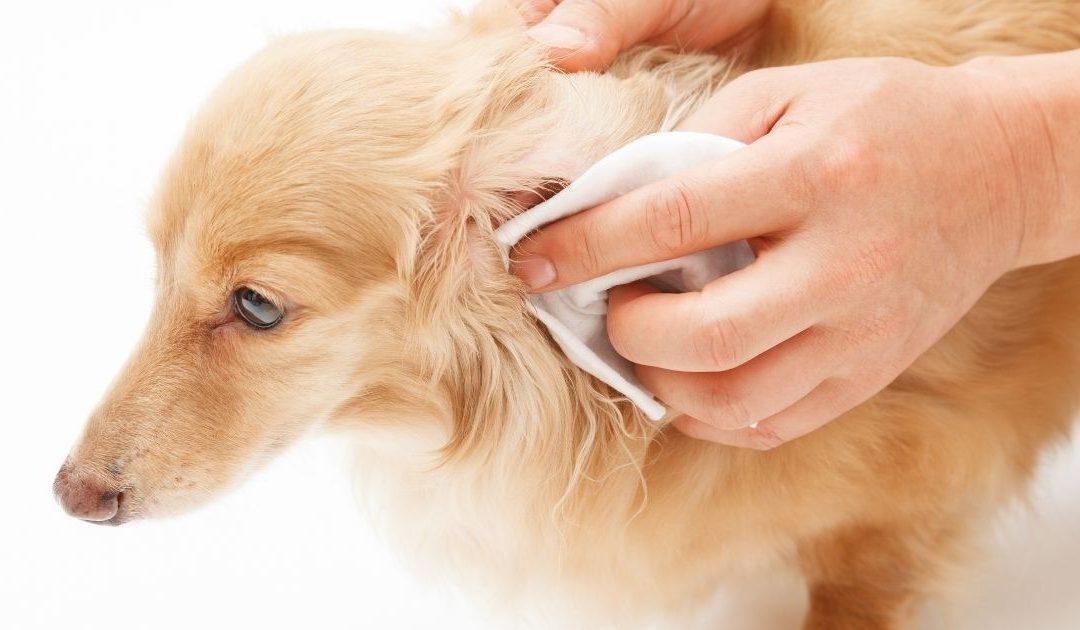 Pulire le orecchie del cane – Ecco come farlo in modo corretto