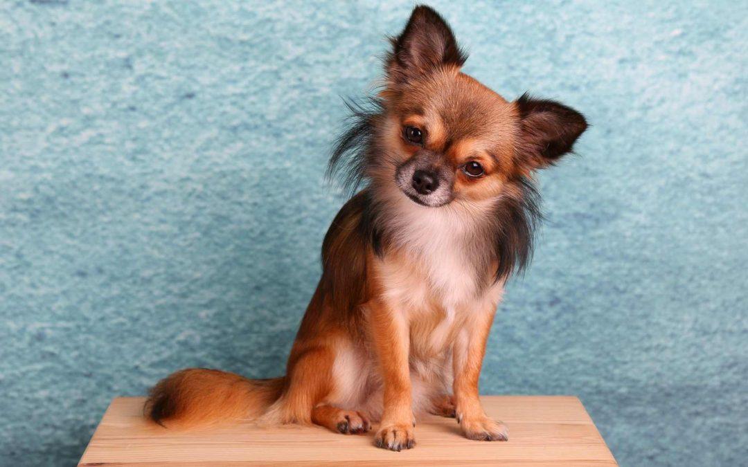 Benessere del cane di piccola taglia: Ecco quali controlli sono necessari